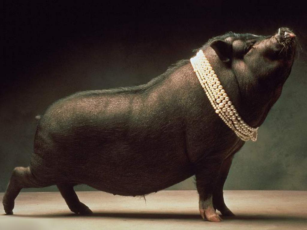 pearls-on-swine-241698951061